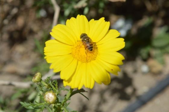 Daisy kuning dan lebah